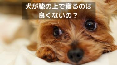 犬が膝の上で熟睡するのは甘えじゃない?飼い主を下に見てるってホント!?